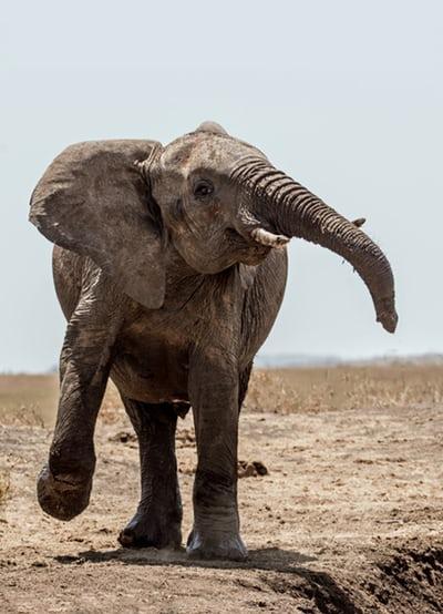 dancing with addiction elephant
